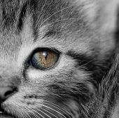 picture of yellow tabby  - Close - JPG