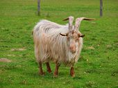 foto of goat horns  - Golden Guernsey Goat with long hair and very big horns looking into the camera and smiling