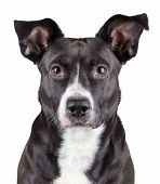 stock photo of staffordshire-terrier  - Portrait of black cute dog isolated on white background - JPG