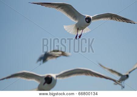 Flying gulls (mews, seagulls)