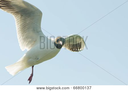 Flying gull (mew, seagull)