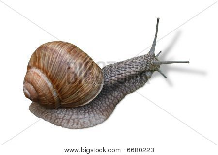 Horned Snail