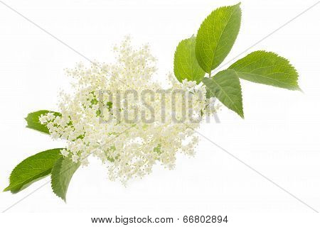 Elderflower isolated on white background