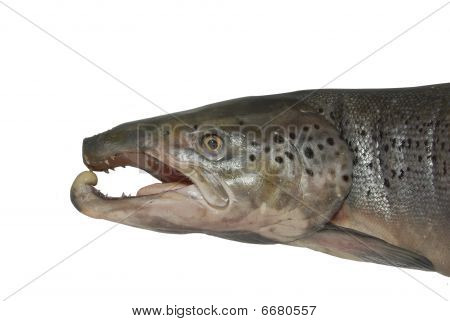 Head Of Great Salmon