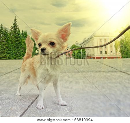 dog in the city background, walking with chihuahua puppy