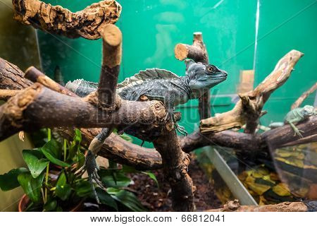 Exotic lizard in the terrarium