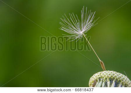 White Dandelion In Spring