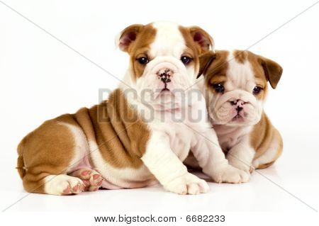 Two English Bulldog Puppies.