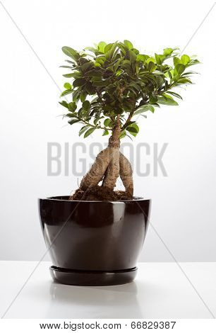 Bonsai Ficus Ginseng isolated on white background