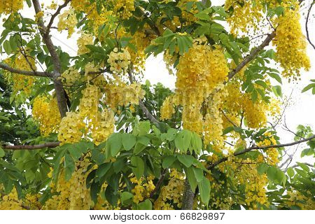 Golden shower tree in Thailand