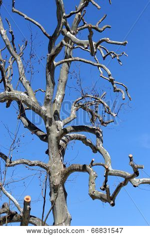 Funny tree on a clear blue sky (focus on the top of the tree)