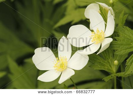 Pair Of Canada Anemones Blooming In Spring