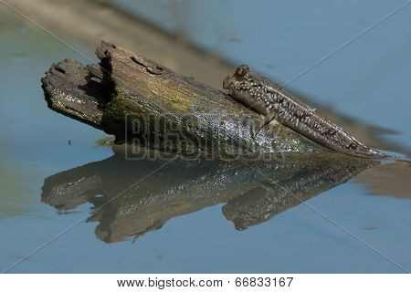 A Mudskipper Sunbathing On An Exposed Log