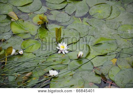 Water Lilies In Bloom