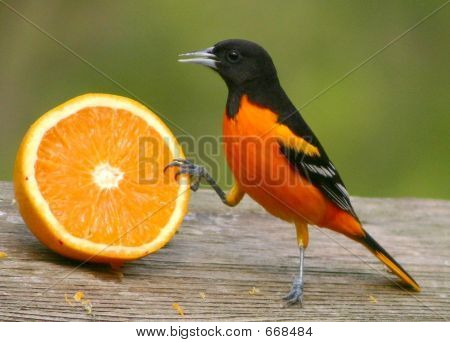 Oriole Approaching Orange