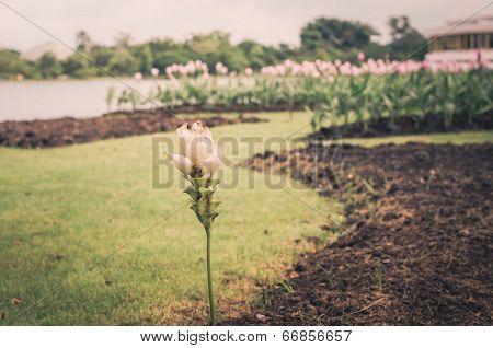 Curcuma Alismatifolia Or Siam Tulip Or Summer Tulip Vintage