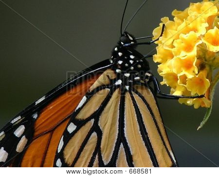 Favorite Monarch