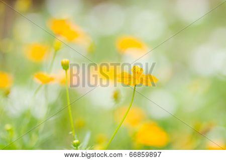 Cosmos Sulphureus Flower