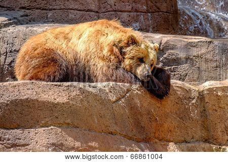 An Alaskan Brown Bear