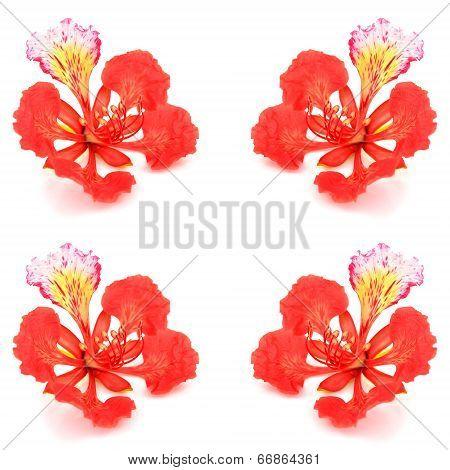 Pride Of Barbados Flower
