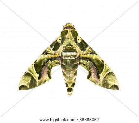 Hawk-moth ( Daphnis Nerii ) Isolated On White
