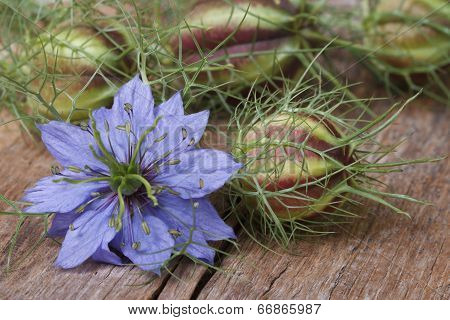 Nigella Flower With A Bud On The Wooden Table Closeup