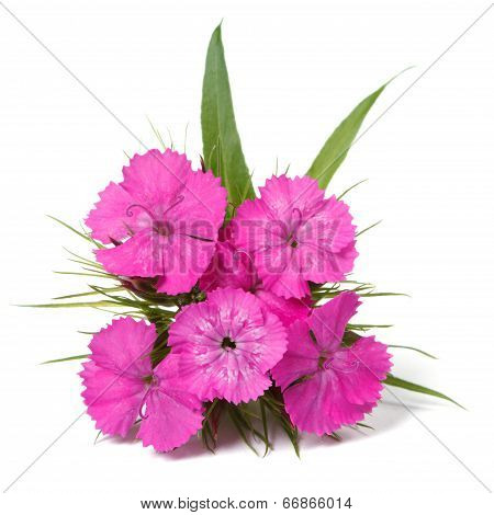 Dianthus Barbatus Pink Flowers Isolated On White Closeup