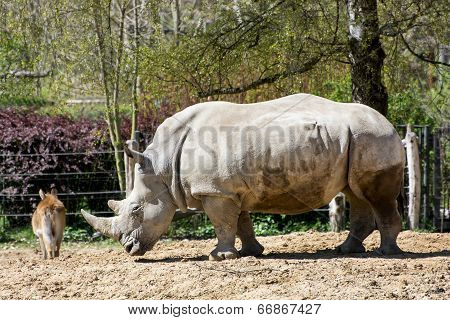 White Rhinoceros And Kafue Lechwe