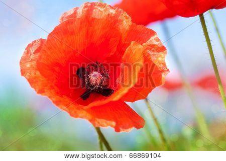 Poppy flower close up against the sky