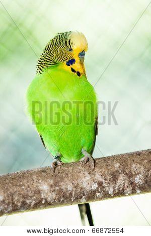 The Budgerigar (melopsittacus Undulatus)