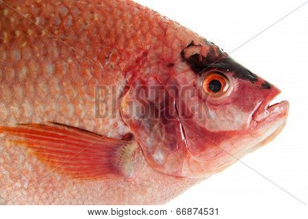 Raw Red tilapia