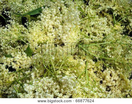 Bunch Of Fresh Cut Elderflowers