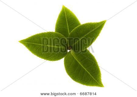 Fresh Tea Branch Isolated On The White Background
