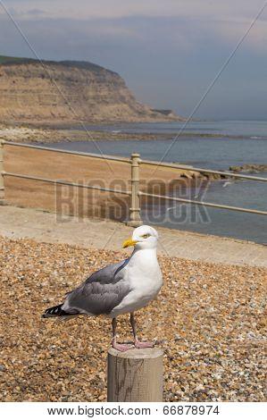Herring Gull On A Post