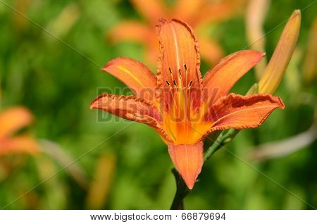 Lilium Distichum