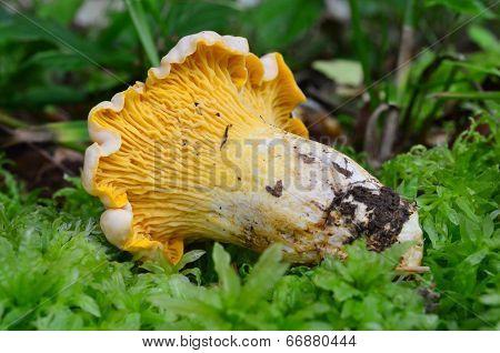 Chantarelle In A Moss