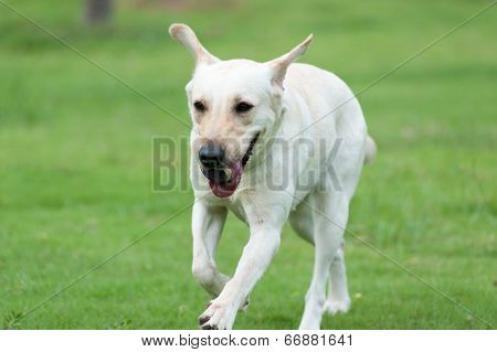 Labrador Dog Running