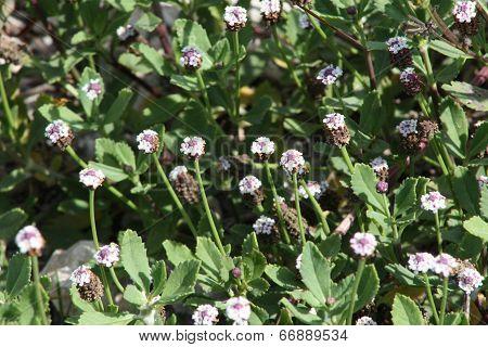 flowering weeds