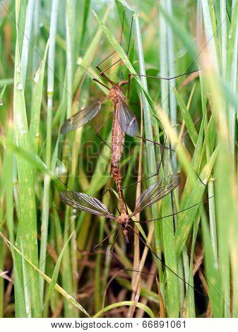 Mosquitos Mating