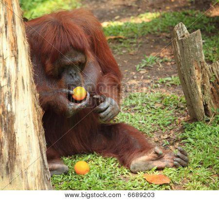 Orangotango com laranja
