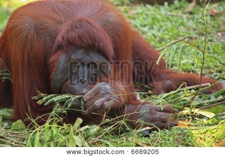 Orangotango na grama-
