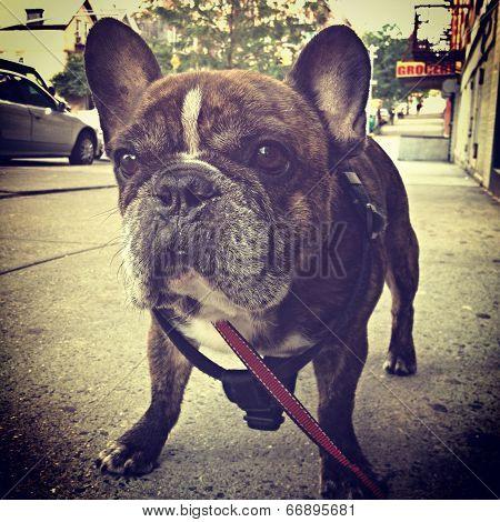 Reverse Brindle French Bulldog