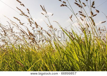 Closeup Of Flowering Grasses