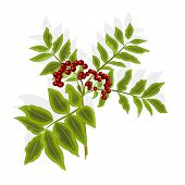 pic of rowan berry  - Twig rowan berry with leaves and berries vector illustration without gradients - JPG