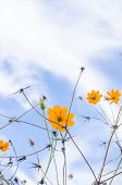 stock photo of cosmos flowers  - Yellow Cosmos flower and blue sky in thr nature - JPG