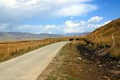 foto of yaks  - Road leading through Tibetan Plateau grasslands with two yaks in the background  - JPG