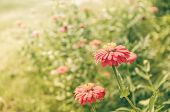 picture of zinnias  - Zinnia flower or Zinnia violacea in the garden nature and park vintage - JPG