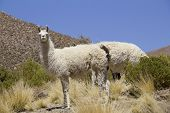 foto of lamas  - Lama shot in Bolivia - JPG