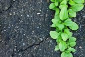 pic of plantain  - Contrasting Background with Rough Asphalt and Smooth Plantain - JPG