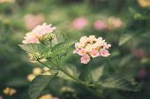 image of lantana  - Lantana or Wild sage or Cloth of gold or Lantana camara flower in the garden vintage - JPG
